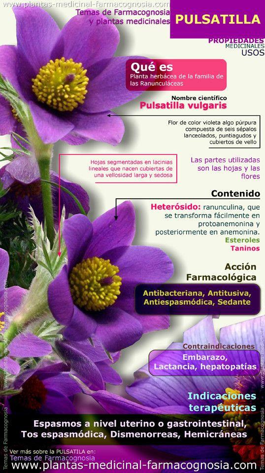 Pulsatila propiedades. Infografía. Resumen de las características generales de la planta de Pulsatila. Propiedades, beneficios y usos medicinales más comunes de la Pulsatila. http://www.plantas-medicinal-farmacognosia.com/productos-naturales/pulsatila/propiedades-infograf%C3%ADa/