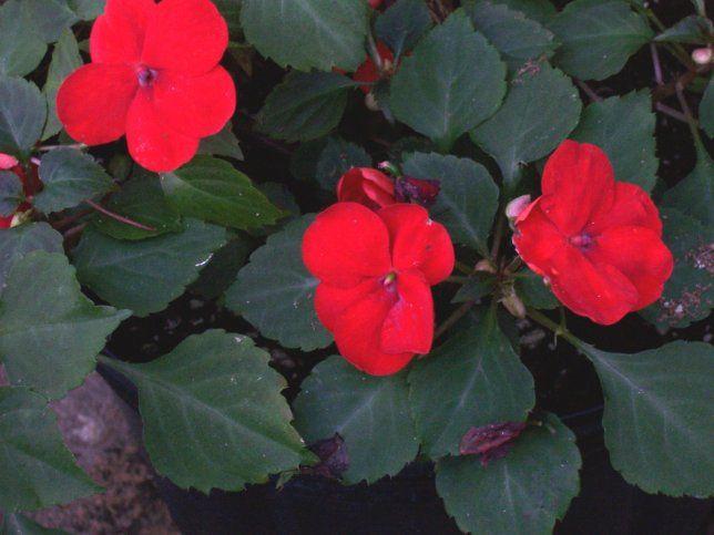 Google Image Result for http://www.plantoftheweek.org/image/impatiens.jpgRed Impatiens, Red Gardens, Planters Flower, Flower Gardens, Elfin Red, Gardens Dreams, Backyards Flower, Impatiens Super, 2013 Backyards