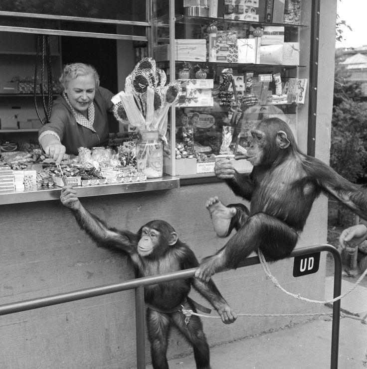 Som en af Europas ældste zoologiske haver har Zoo en lang tradition for at holde eksotiske dyr, så danskerne kan få muligheden for at se de fremmede arter. Dyk ned i arkivet og se de dejlige billeder.