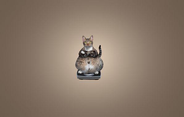 Обои картинки фото кот, толстый, кошка, весы, сидит