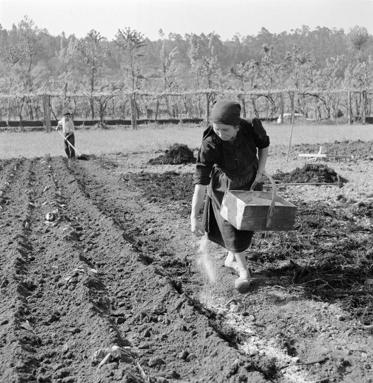 Adubagem da terra, Minho, década de 1950