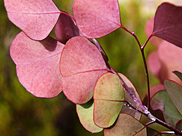 Australian Eucalyptus (Gum) tree leaves