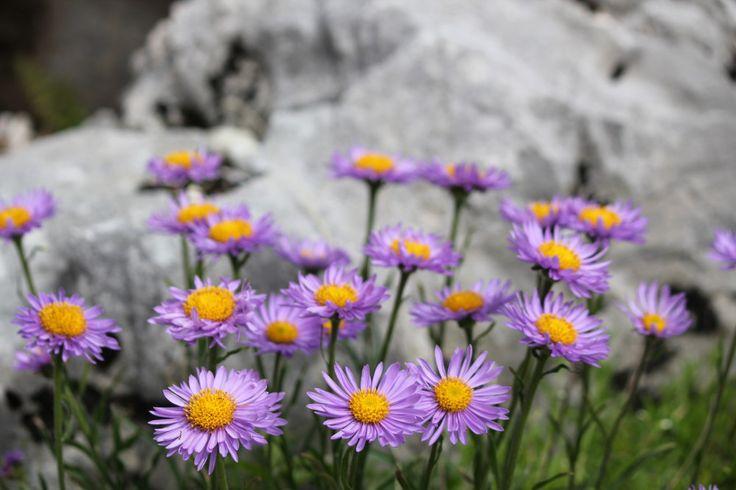 """Fiori e colori del giardino botanico alpino """"Viotte"""""""