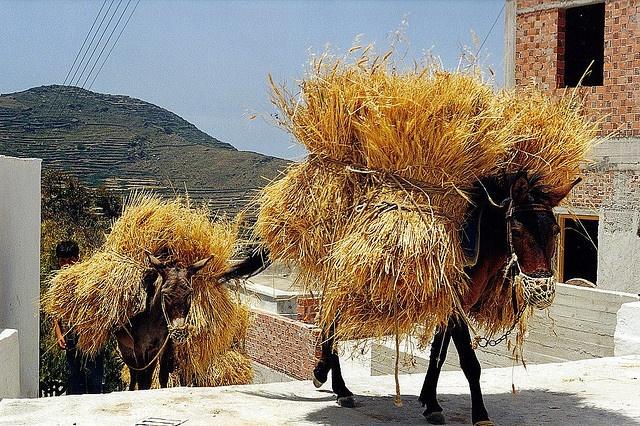 Donkeys on a Greek Island. I LOVE donkeys - they earn their keep here.