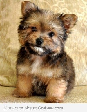 Aww it鈥檚 a Porkie! Pomeranian and Yorkie mix* I think I want one of these - I want a new puppy :)