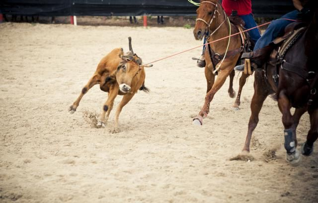 2015 PRCA World Standings, Updated Weekly: A header turns the steer for the heeler to make his throw.