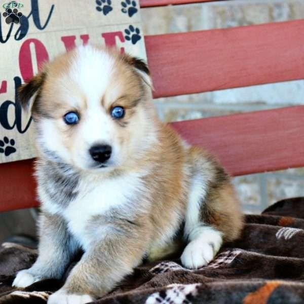 Odie Pomsky Puppy For Sale In Kentucky Pomsky Puppies Pomsky