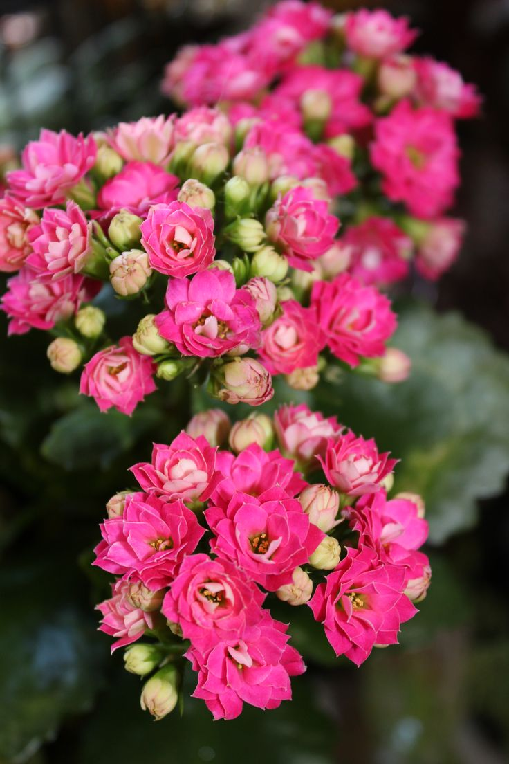 blooming kalanchoe care plants pinterest plants and flowers. Black Bedroom Furniture Sets. Home Design Ideas