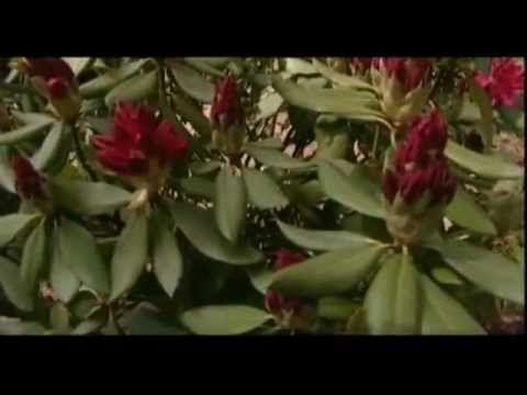 Рододендроны