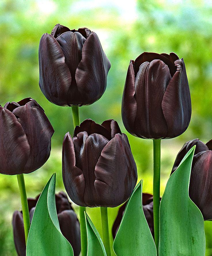 Tulpen 'Paul Scherer' | Blumenzwiebeln | Bakker