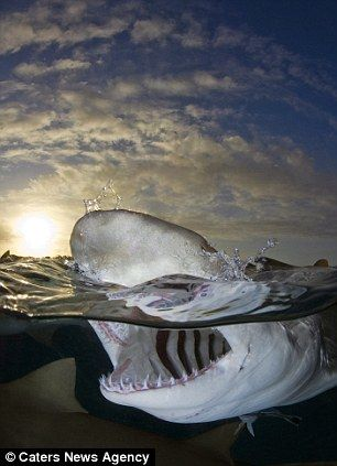 Amazing shark images... by  Andy Murch