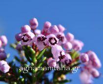 Ρείκι φθινοπωρινό Σουσούρα Erica manipuliflora