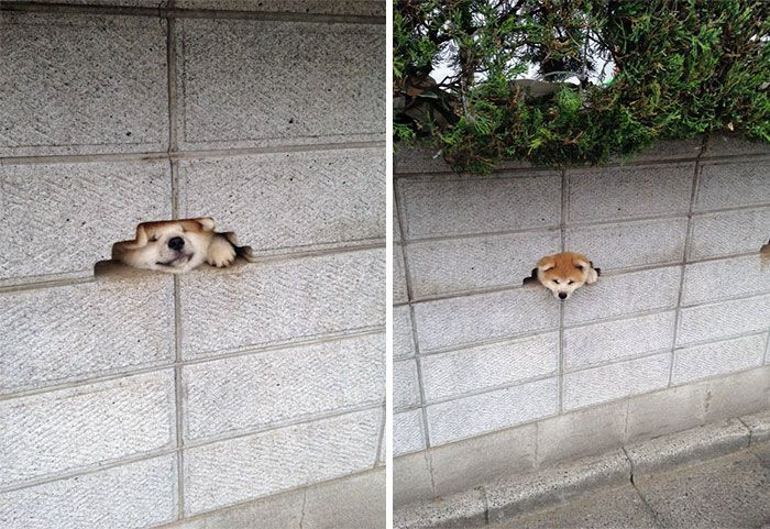 funny-hilarious-dogs-sticking-heads-through-fences-holes (3)