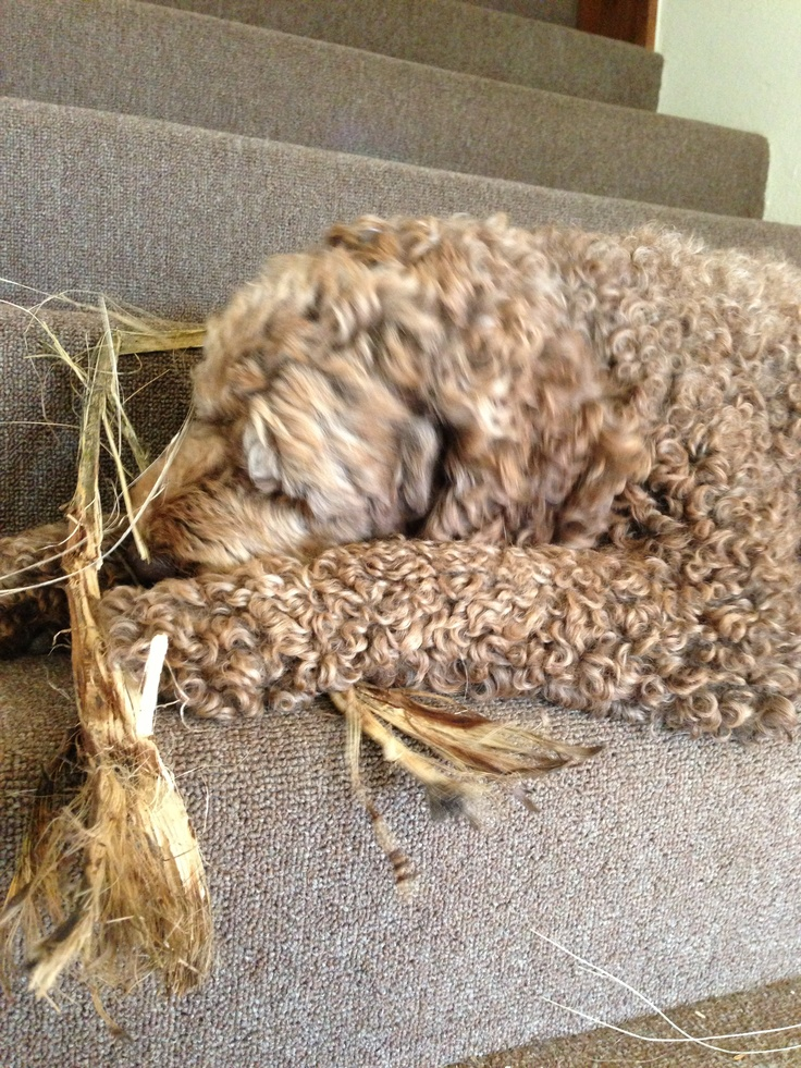 what was outside is now inside #labradoodle #fraggle #dog