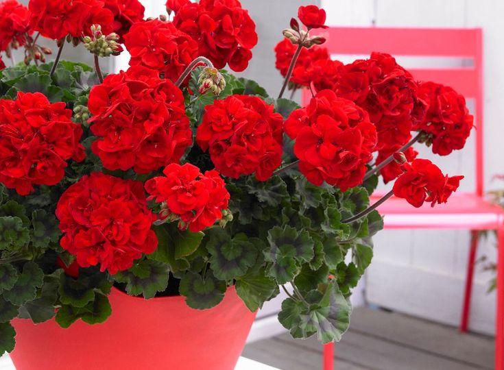 Află cum poți obține mușcate pline de flori