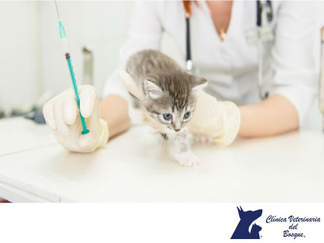 LA MEJOR CLÍNICA VETERINARIA DE MÉXICO. En Clínica Veterinaria del Bosque, contamos con un plan de vacunación ideal para tu gato. Debes vacunarlo anualmente para prevenir enfermedades como Rinotraqueítis infecciosa felina, Calicivirus y Panleucopenia. Te invitamos a visitar nuestra página web para solicitar una cita para tu mascota. www.veterinariadelbosque.com
