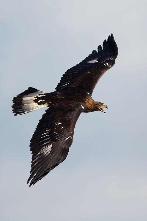 Golden Eagle by Milan Zygmunt, via 500px