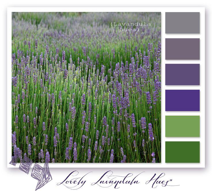 Lavender in bloom, Bridestowe Lavendar Farm, Tasmania - Australia
