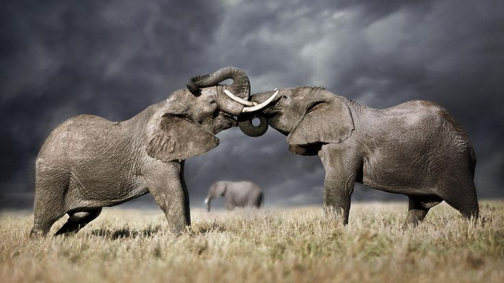 Male elephants are not the loners we once thought   African elephant males are perceived to be aggressive, hormonal and antisocial. But it turns out they have friendships and can act as leaders and teachers
