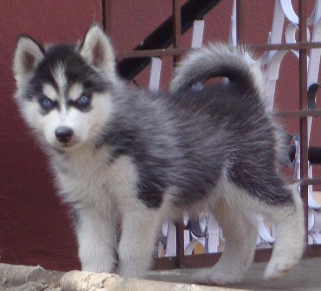 siberian husky puppies price in bangalore | Zoe Fans Blog