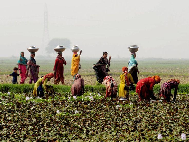 Dinsdag 29 oktober 2013: Net buiten de Pakistaanse stad Lahore oogsten vrouwen in kleurrijke jurken waterkastanjes.