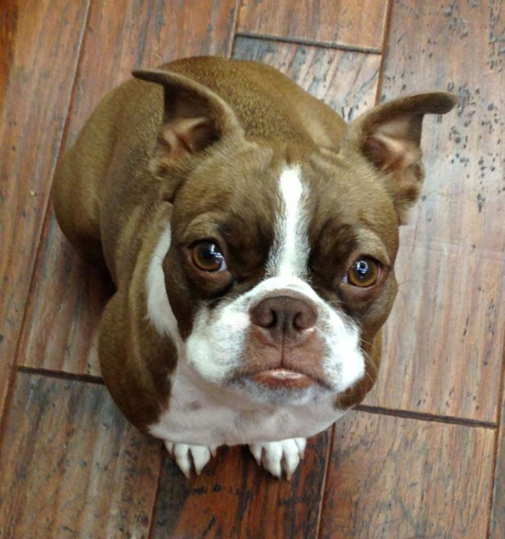 Find Out More On Boston Terrier Puppy Grooming #bostonterriersofig #bostonterrie…   – SAY Boston