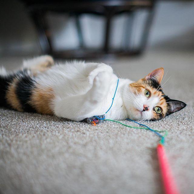 Playful calico kitten