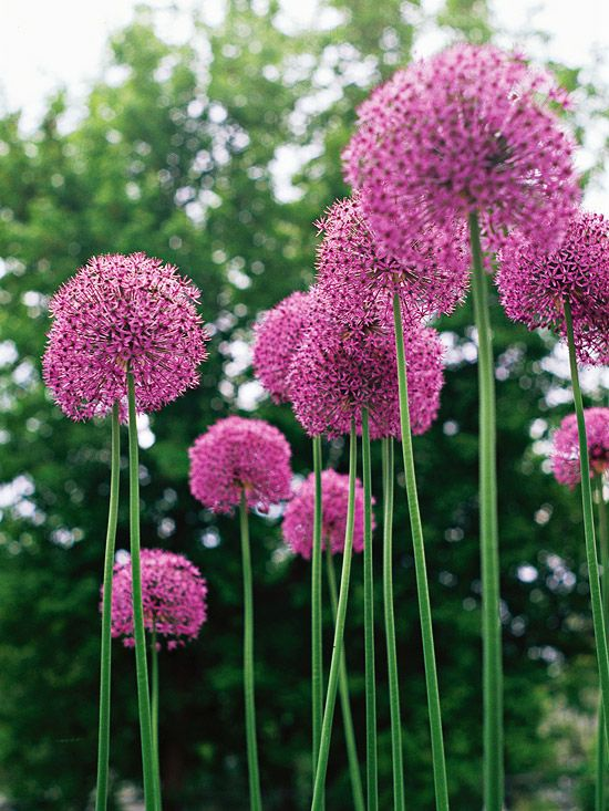 One of the most common types, this winner offers dense globes to 4 inches wide of pink-purple flowers. Name: Allium aflatunense Bloom Season: Late spring or early summer Growing Conditions: Full sun and well-drained soil Size: To 3 feet tall Zones: 4-9 Native to North America: No Why We Love It: It's a reliable, showy variety. It makes a great focal point in the garden.