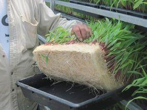EL 1, 2, 3 DEL FORRAJE VERDE HIDROPÓNICO  El Forraje Verde Hidropónico (FVH) es el resultado del proceso de germinación de granos de cereales o leguminosas como el maíz o el sorgo sobre charolas. Éste te permite complementar la alimentación para la producción y crianza de ganado vacuno, ovino, apícola y para la cunicultura de forma simple aprovechando al maximo los recursos... Lee más dando click en la imagen.
