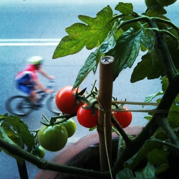 Quando l'orto cresce sul balcone... i pomodori si affacciano alla finestra  (Window garden - Pavia, Italy)