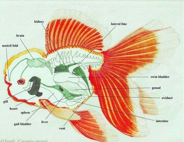 Swim Bladder Disorder Internal Anatomy Oranda Goldfish Goldfish Aquarium Fish