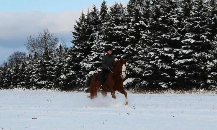 winter, snow, equine, horse, riding, canter, gallop, pine trees