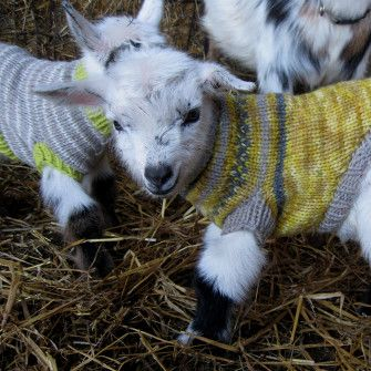 Marceline, with her twin sister Mirabelle in the background, wearing wool sweaters handknit by me. Born spring 2014.