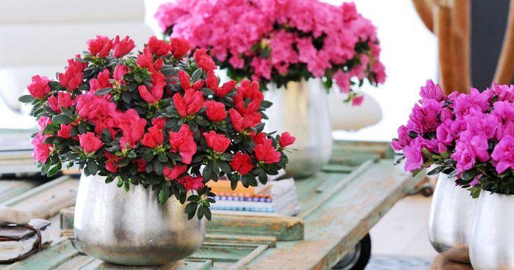 Azaleen sind für ihre Blütenpracht im Garten berühmt. Im Winter bereichern Zimmer-Azaleen auch unsere Innenräume mit ihren leuchtenden Farben. Hier lesen Sie, was Sie bei der Pflege beachten müssen, um lange Freude an den asiatischen Schönheiten zu haben.