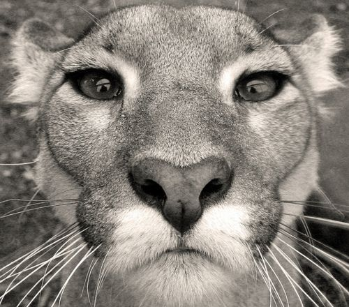 ~ Panthers, Big Cat, Cougar,  Mountain Lion, Head Shots,  Catamount,  Pumas, Animal,  Painters