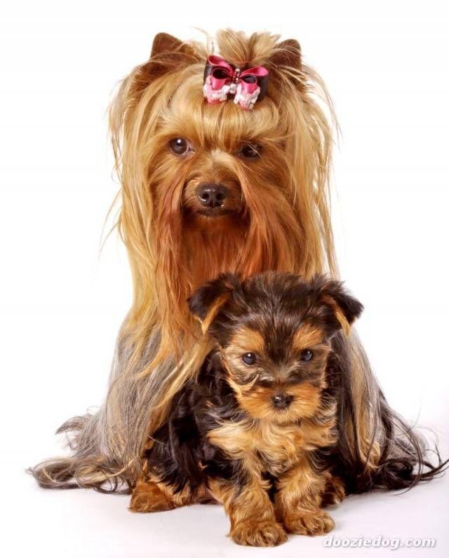yorkshire adulto e filhote