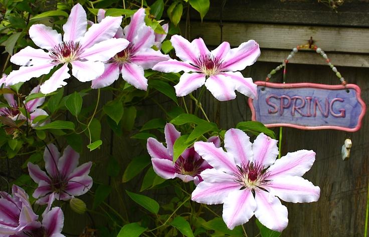 Clematis Nelly Moser My Garden Spring Pinterest