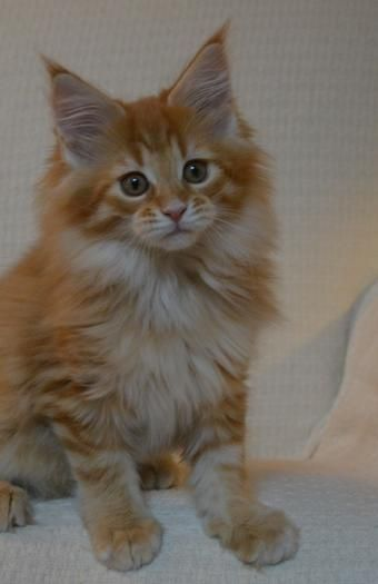 RockStarCats, Maine Coon Cats, Kittens for Sale, WI, IL