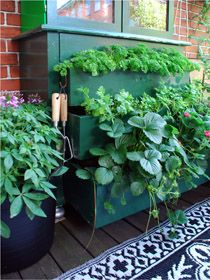 Grow Darling ... - sweet strawberry and perfect parsley in the old storage