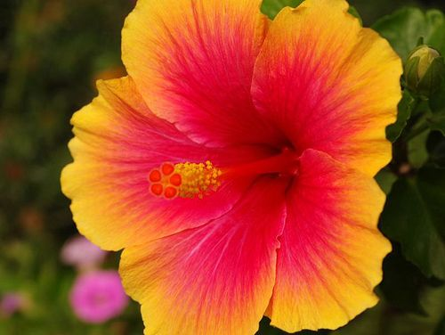 pretty color hibiscus make the perfect tattoo ink baby pinterest beautiful flower and kauai. Black Bedroom Furniture Sets. Home Design Ideas