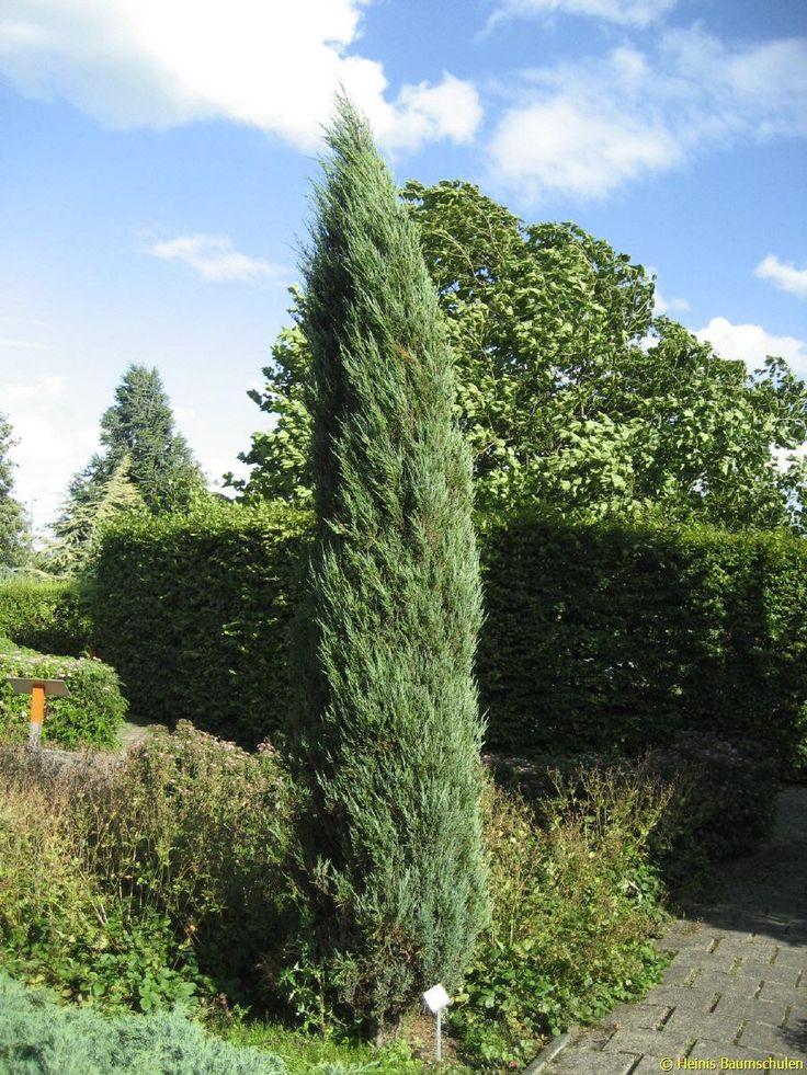 juniperus scopulorum 39 blue arrow 39 drzewa i krzewy. Black Bedroom Furniture Sets. Home Design Ideas