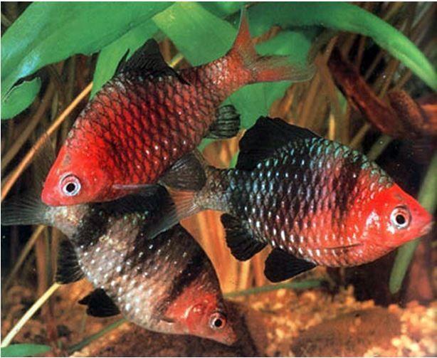 Black Ruby Barb Tropical Fish Arizona Aquatic Gardens Aquarium Fish Tropical Fish Tanks Tropical Fish