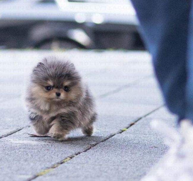 Available Puppies Teacup Pom Home Pomeranian Puppy For Sale Puppies Pomeranian