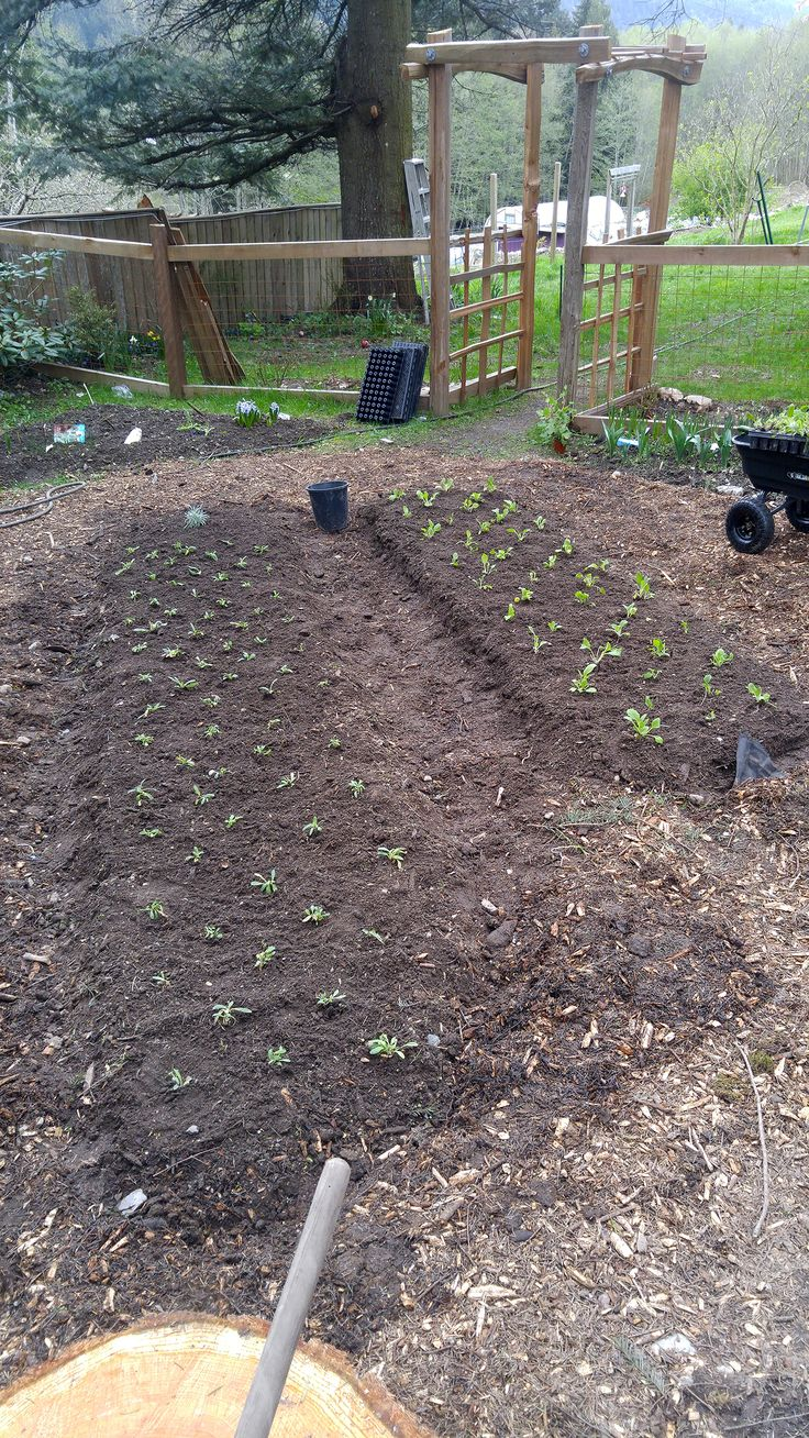 Wee baby Foxgloves and Poppy seedlings in their new beds.