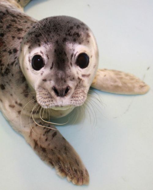 This is Gouda at 1 week old. She was rescued by the Alaska SeaLife Centre at 4 days old.