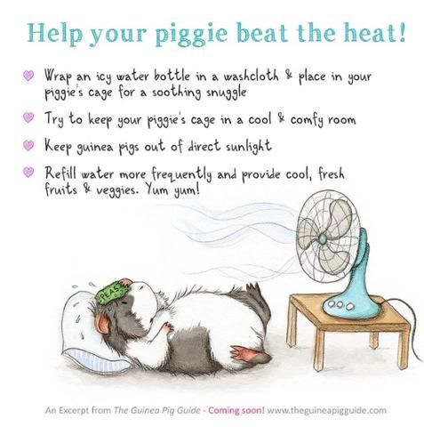 Warm weather tips to keep your guinea pigs cool - help your piggy beat the heat. Image Source : www.pinterest.com