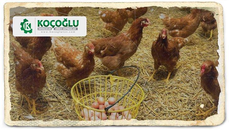 Salma Tavukçuluk nedir ve nasıl yapılır? Tavukçuluk konusunda detaylı bilgi için tıklayın http://www.yarkaburada.com