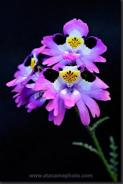 Atacama Desert Flower - Poor Man's Orchid (Schizanthus litoralis)