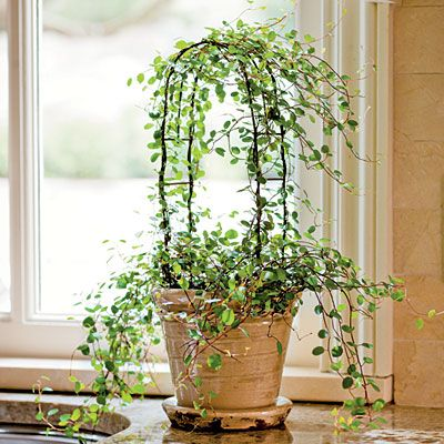 Another Fine Vine to Train  Most topiaries at garden centers are created from English ivy (Hedera helix), but if you would like to make your own, start with an angle vine. It does well in bright-to-low light, indoor warmth, and slightly moist soil.