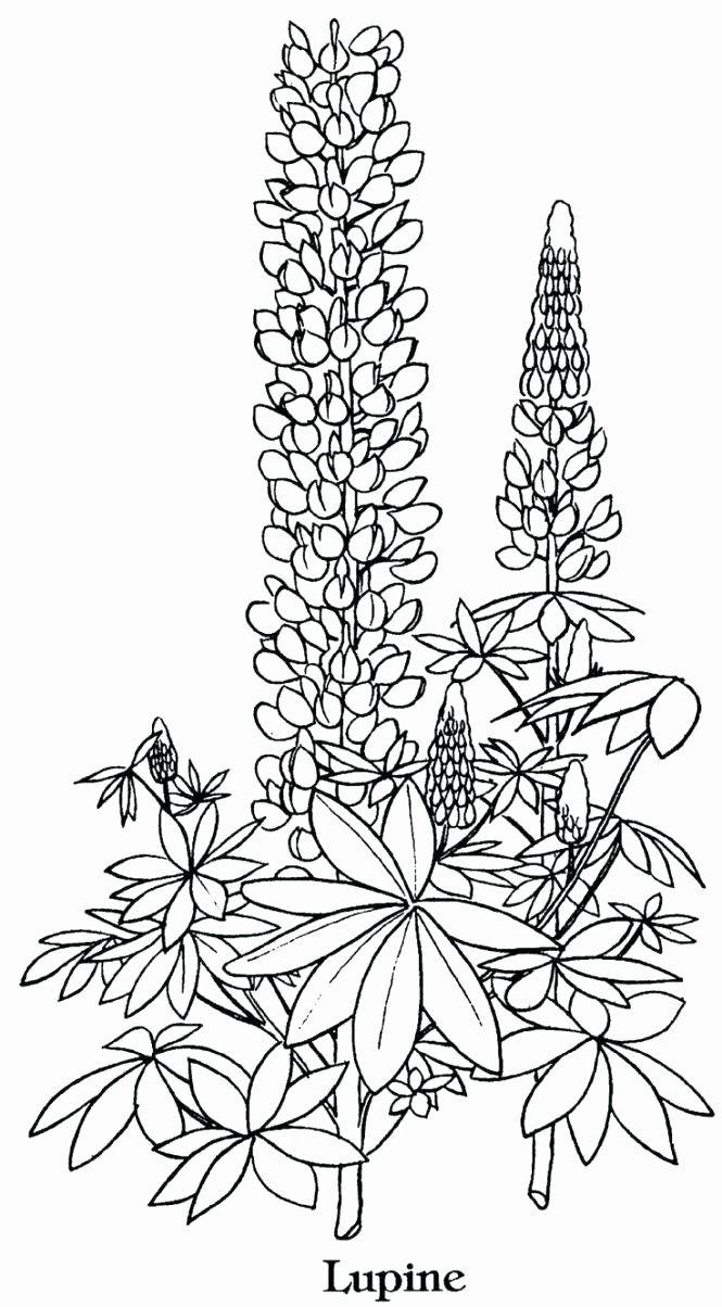 Coloring Pages Of Lavender Flowers Fresh Legend Of The Bluebonnet Coloring Page Roamandfit Flower Coloring Pages Flower Line Drawings Coloring Pages